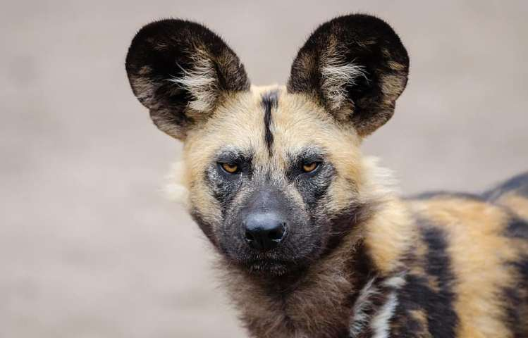 The African Wild Dog / Painted Wolf