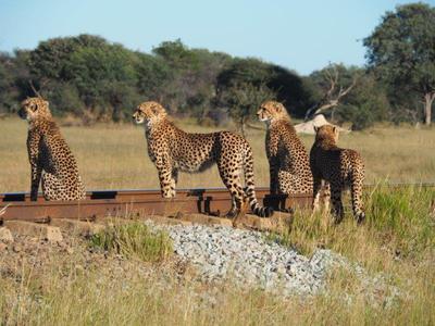 Cheetah at Camelthorn