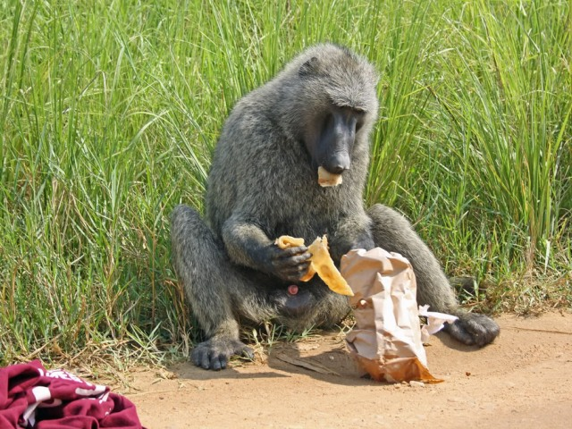 Baboon enjoying stolen goods