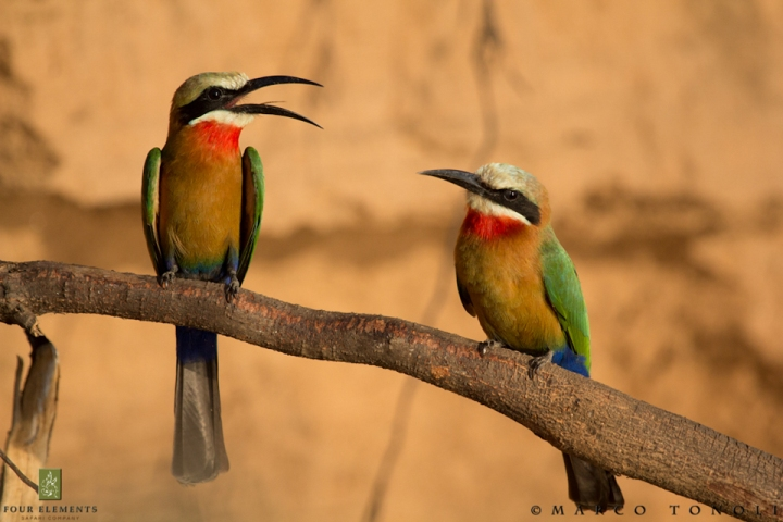 Carmine bee-eaters in Mana Pools. Image by elements.co.za