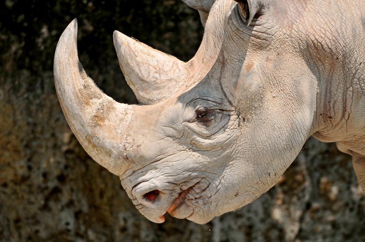 Hook-lipped black rhino - the wilder more aggressive cousin in the rhino family
