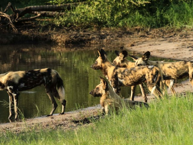 African Wild dog at a waterhole in Hwange National Park, Zimbabwe