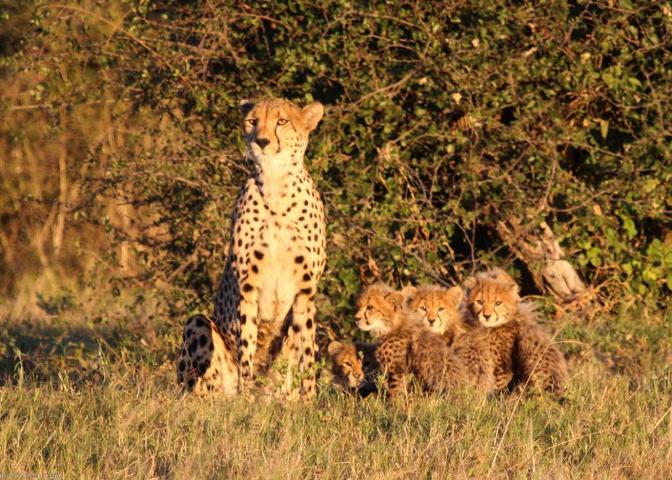 Cheetah on the Bomani concession in Hwange National Park, Zimbabwe
