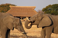 Elephants playing at Camp Hwange