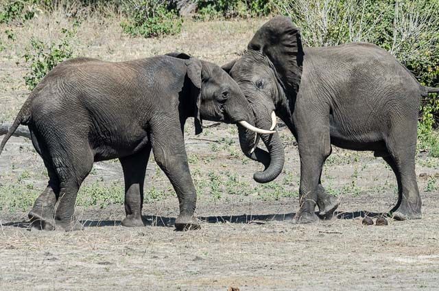 Elephants in Chobe