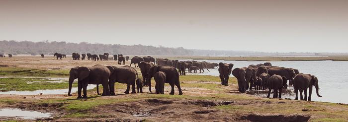 Huge elephant congrgation along the Chobe River in Botswana