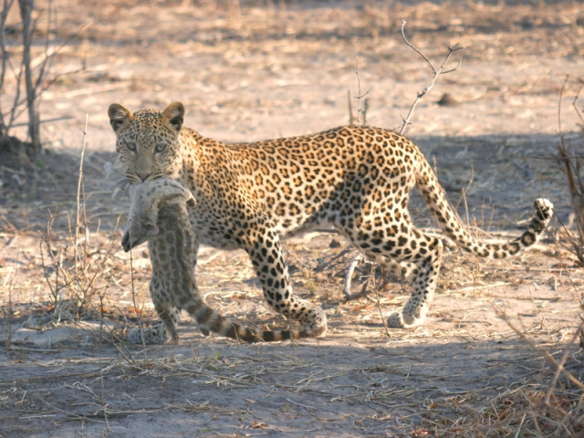 A leopard kill spotted in Chobe national Park on a Chobe Safari Lodge game drive in Botswana