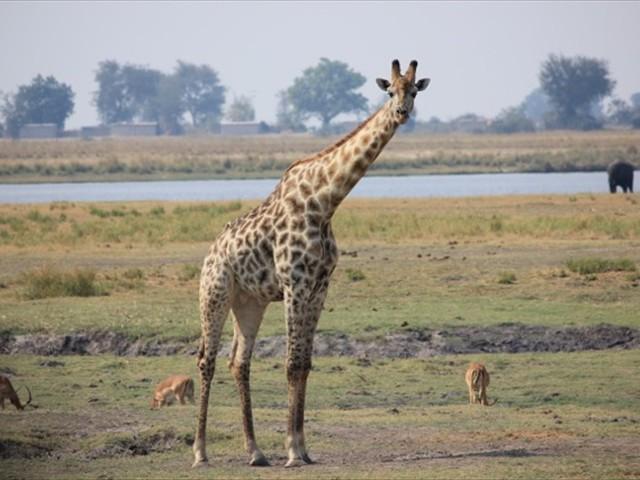 A giraffe looks back