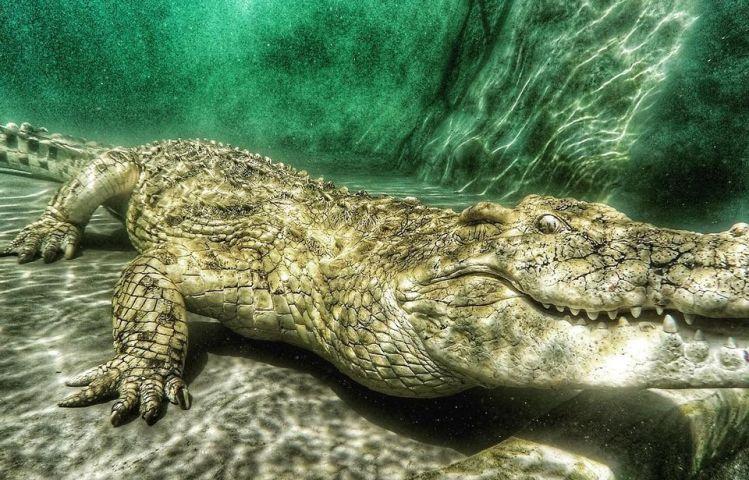 Albino crocodile underwater in Victoria Falls, Zimbabwe