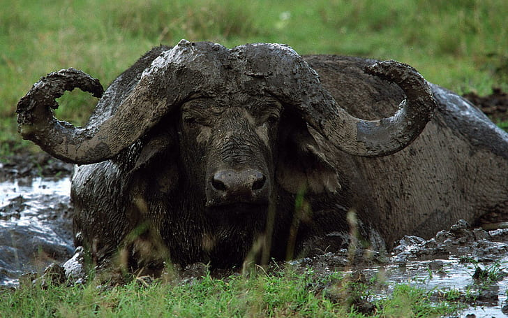 Dagga boy - older male Buffalo like to take mud baths