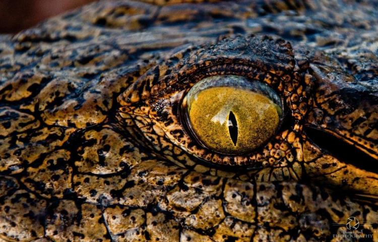Eye of the crocodile - photo by Daniel Peel Photography
