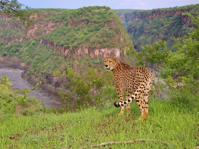 Sylvester the cheetah at Elephant Camp - Victoria Falls, Zimbabwe