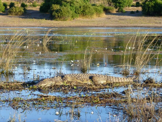 Nile croc in the river