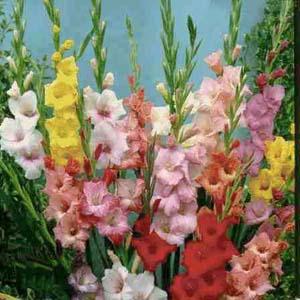 Gladiolus Primulinus
