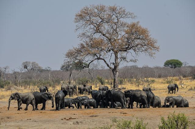 Hwange elephants at the waterhole