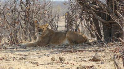 Masuma Lioness