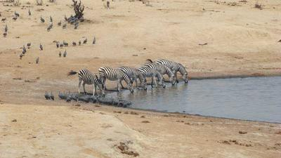 Zebra drinking at Masuma