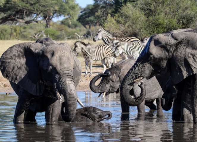 Elephants at a waterhole in Hwange National Park, Zimbabwe