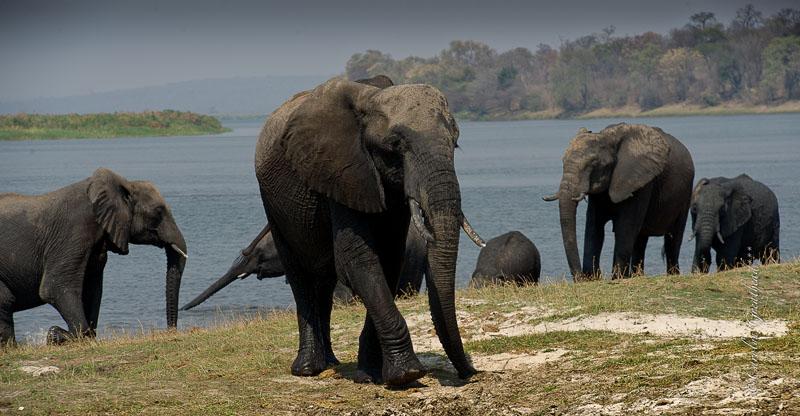 Elephants seen on a game drive - Imbabala Zambezi Safari Lodge - Zambezi National Park, Victoria Falls, Zimbabwe