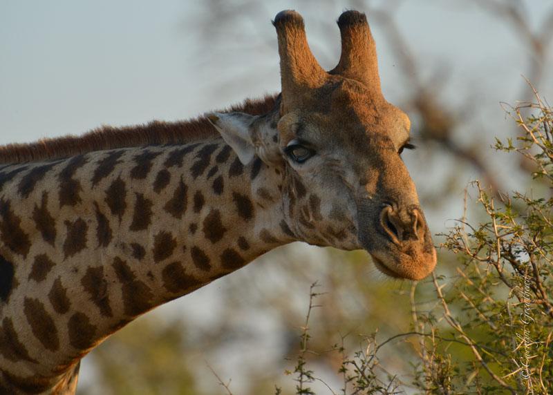 Giraffe seen on a game drive - Imbabala Safari Lodge - Zambezi National Park, Victoria Falls, Zimbabwe