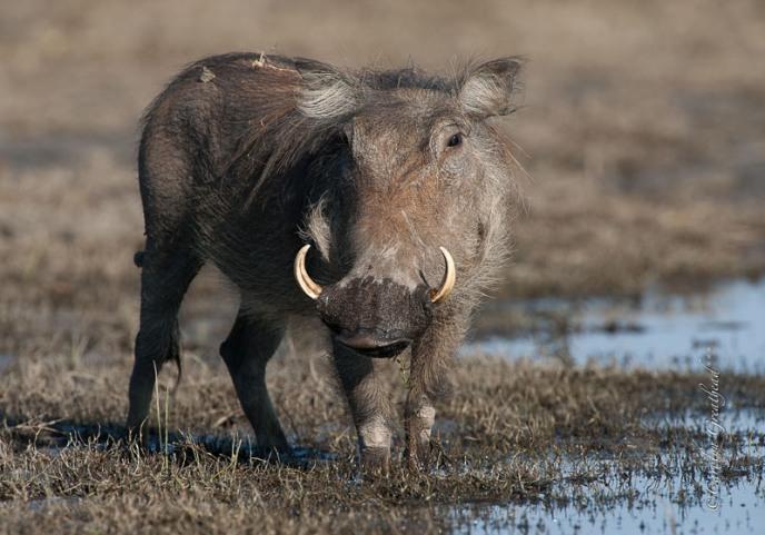 Warthog in Zambezi National Park near Victoria Falls, Zimbabwe