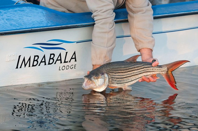 Fishing on the Zambezi River with Imbabala Safari Lodge - Zimbabwe