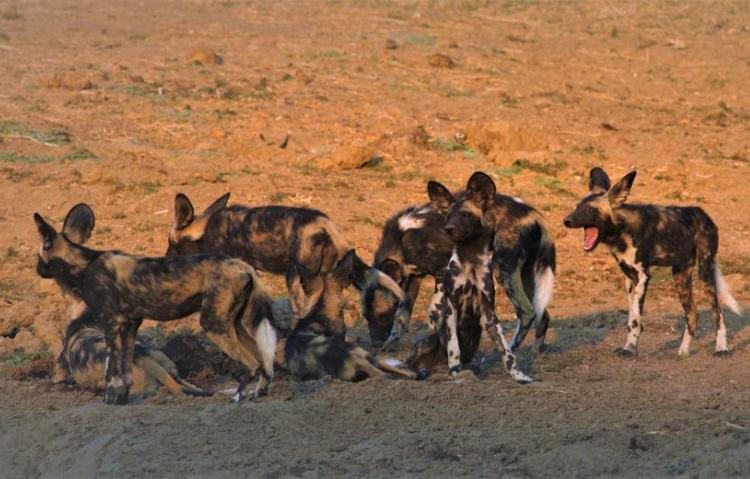 Pack of Cape African Wild Dogs in Mana Pools National Park in Zimbabwe