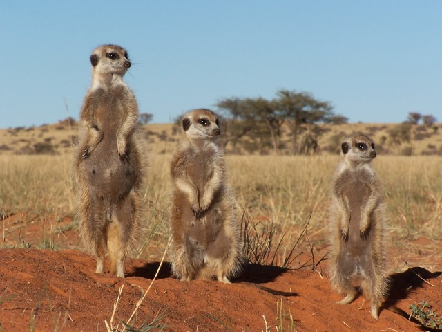 Meerkats in the Kalahari Desert