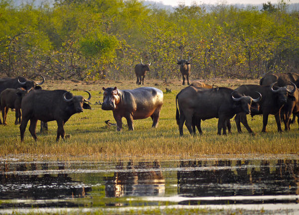Buffalo and hippo at Lake Kariba