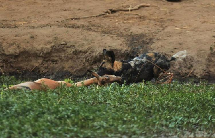 African wild dog with impala kill in Mana Pools National park in Zimbabwe