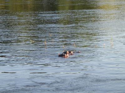 Hippos on cruise