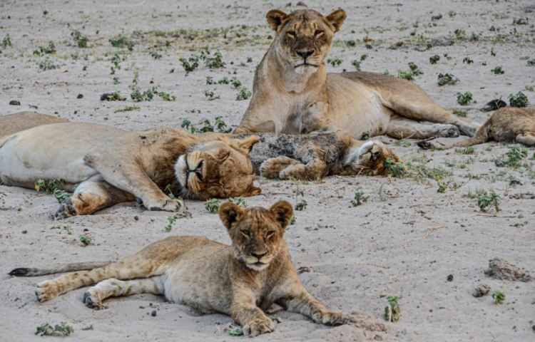 African lions are sociable