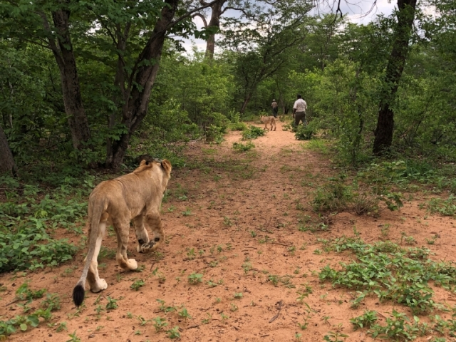 Walk with lions in Victoria Falls, Zimbabwe
