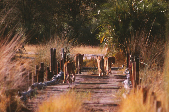 Lions crossing a bridge in Moremi, Okavango Delta, Botswana