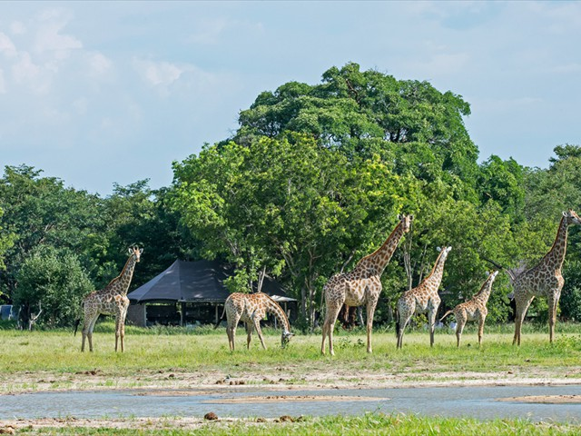 Giraffe passing by Little Makalolo main lodge - Hwange National Park, Zimbabwe