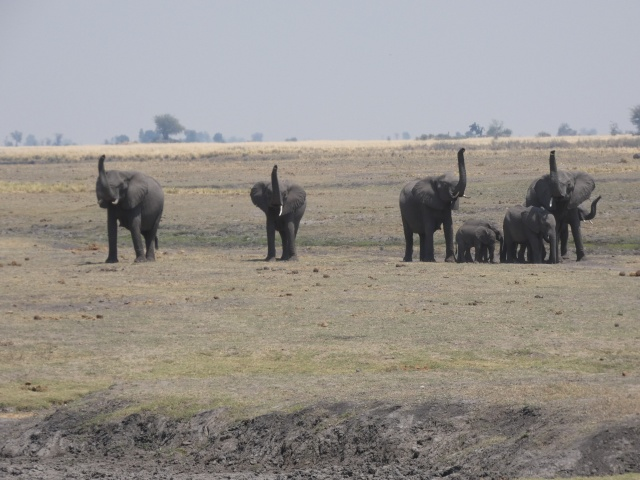 African Elephants in Chobe National Park, Botswana. Day trips from Victoria Falls, Zimbabwe
