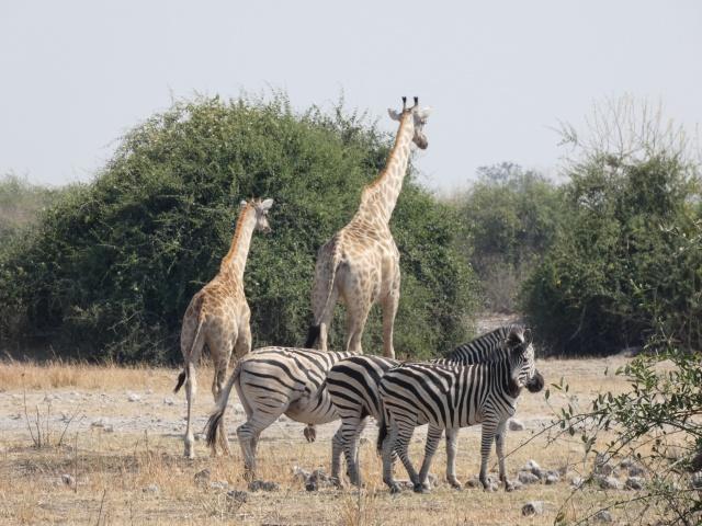 Zebra and giraffe seen on a game drive in Chobe National Park, Botswana.