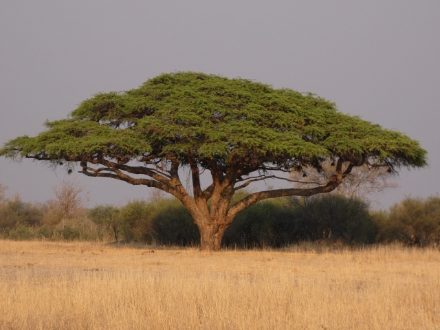 Beautiful acacia tree in Hwange National Park, Zimbabe