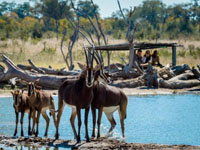 Amazing game viewing at Little Makalolo Camp, Hwange National Park, Zimbabwe
