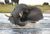 Elephant splashing on the Chobe River - Botswana