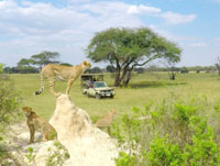 Cheetah in Hwange National park, Zimbabwe