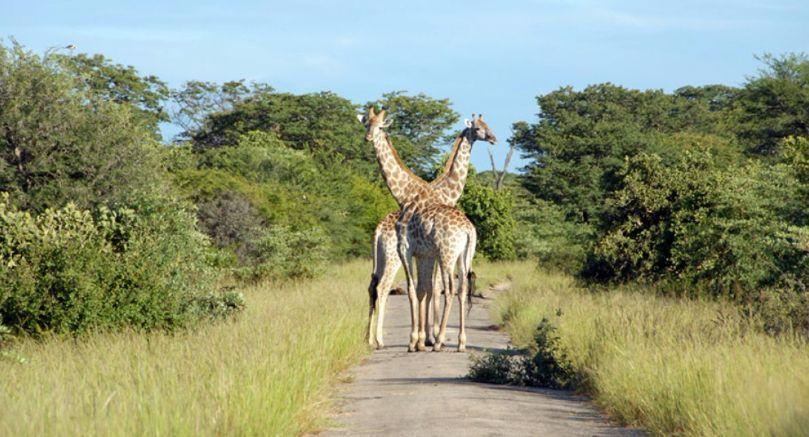 Giraffe on the road in Hwange, Zimbabwe