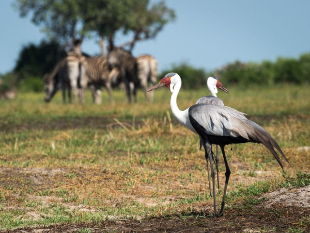 Game viewing and birding in Moremi Game Reserve and Chief's Island - Okavango Delta, Botswana