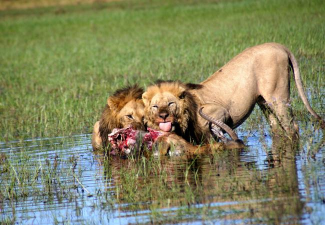Lion brothers feeding