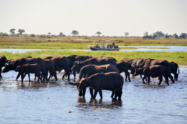 Buffalo on the Chobe River - Botswana