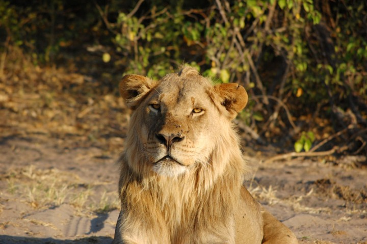 Beautiful beast seen on a game drive in Chobe National Park