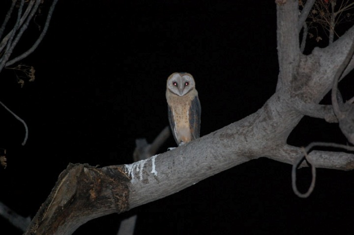 Owl seen on a night drive in the Chobe forest reserve - Botswana