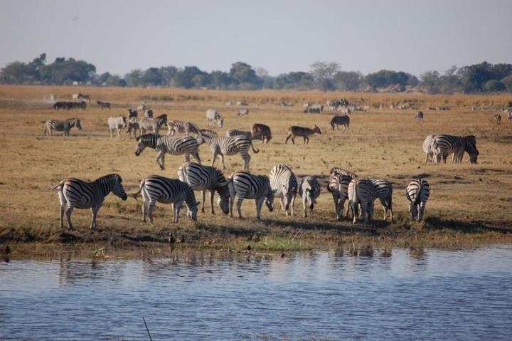 Beautiful zebra herd along the Chobe iver - Botswana