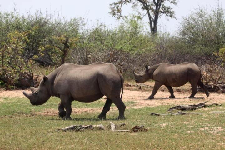 Black rhino tracking in Matusadona National Park