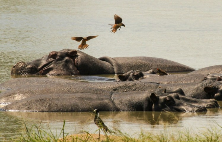 Hippos cooling in the water